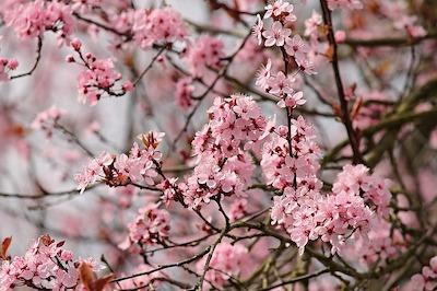 Arbuste et arbre à fleur rose : amandir de Chine - Prunus triloba
