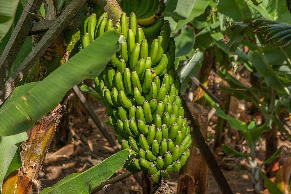 Comment faire pousser un bananier avec une graine de banane ?