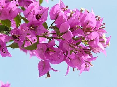 Arbuste et arbre à fleur rose : bougainvillier - bougainvillea