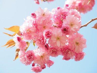 Arbuste et arbre à fleur rose : cérisier du Japon - prunus serrulata