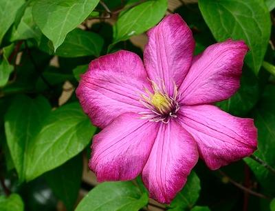 Arbuste et arbre à fleur rose : clématite
