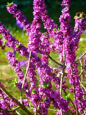 Arbuste et arbre à fleur rose : daphné odora