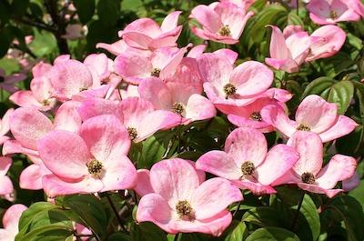 Arbuste et arbre à fleur rose : cornouiller - cornus