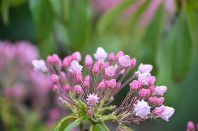 Arbuste et arbre à fleur rose : kalmia - laurier d'Amérique - laurier de montagne