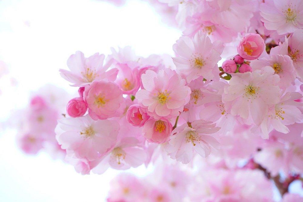 arbuste et abre à fleur rose