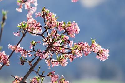 Arbuste et arbre à fleur rose : kolkwitzia amabilis – buisson de beauté