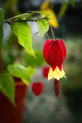Arbuste et arbre à fleur rose : arbre aux lanternes - crinodendron hookerianum