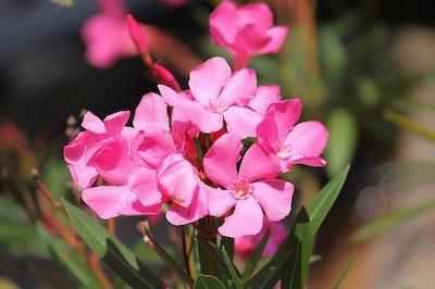 Arbuste et arbre à fleur rose : laurier rose - nerium oleander