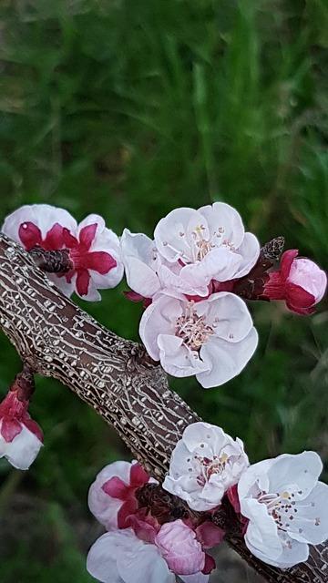 Arbuste et arbre à fleur rose : abricotier du Japon - prunus mume