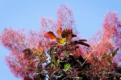 Arbuste et arbre à fleur rose : cotinus - arbre aux perruques - barbe de Jupiter