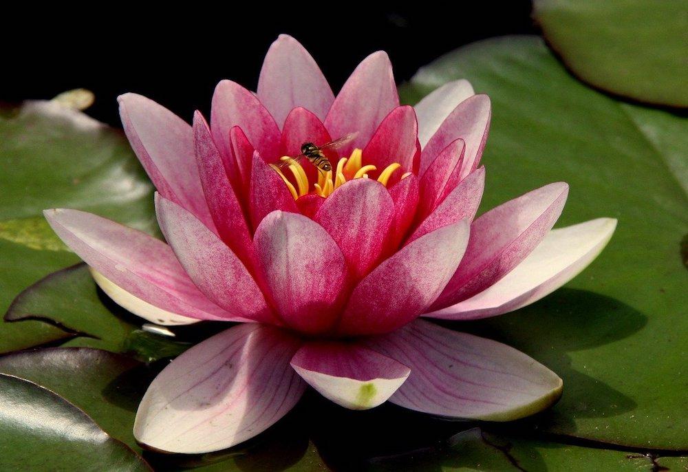 Comment avoir de magnifiques lotus à partir d'une graine ?