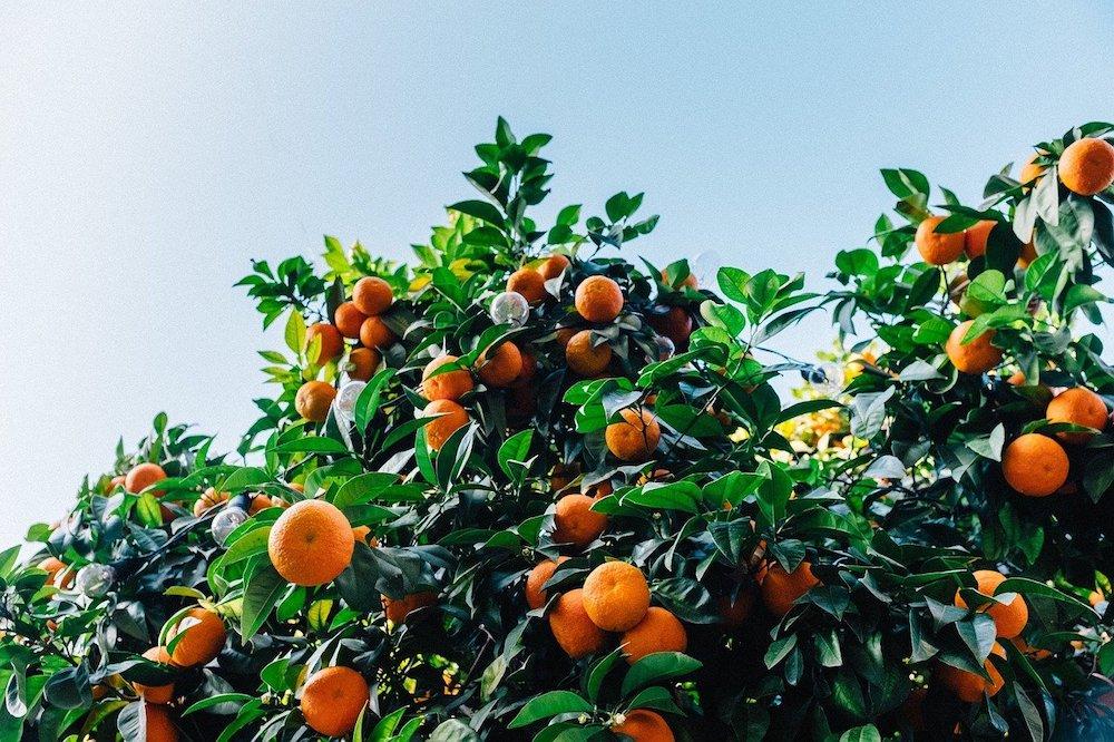 Comment faire pousser une graine de clémentinier dans son jardin ?
