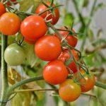 Quel engrais naturel pour tomates choisir?