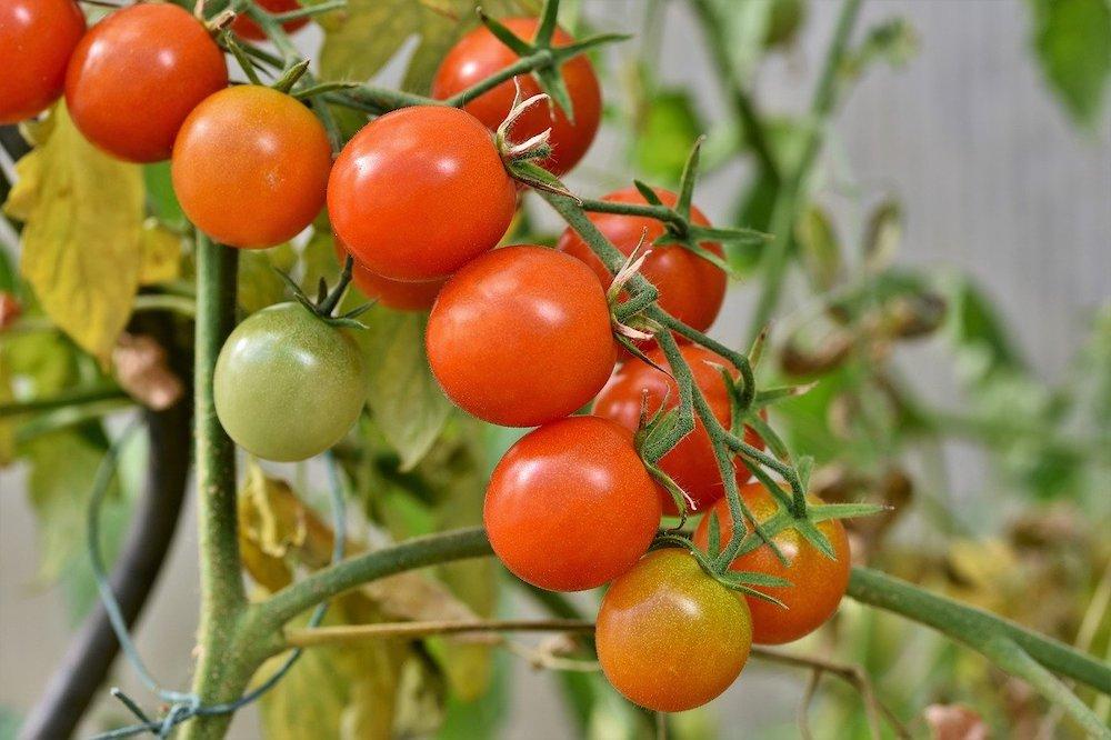 Quel engrais naturel pour tomates choisir ?